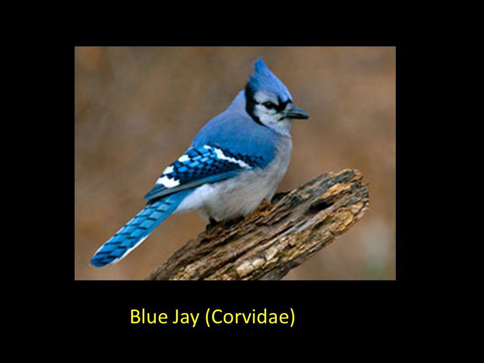 Blue Jay (Corvidae)