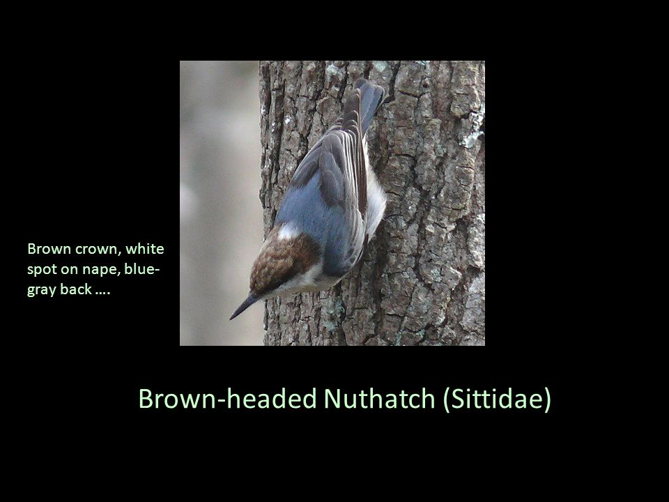 Brown-headed Nuthatch (Sittidae) Brown crown, white spot on nape, blue- gray back ….