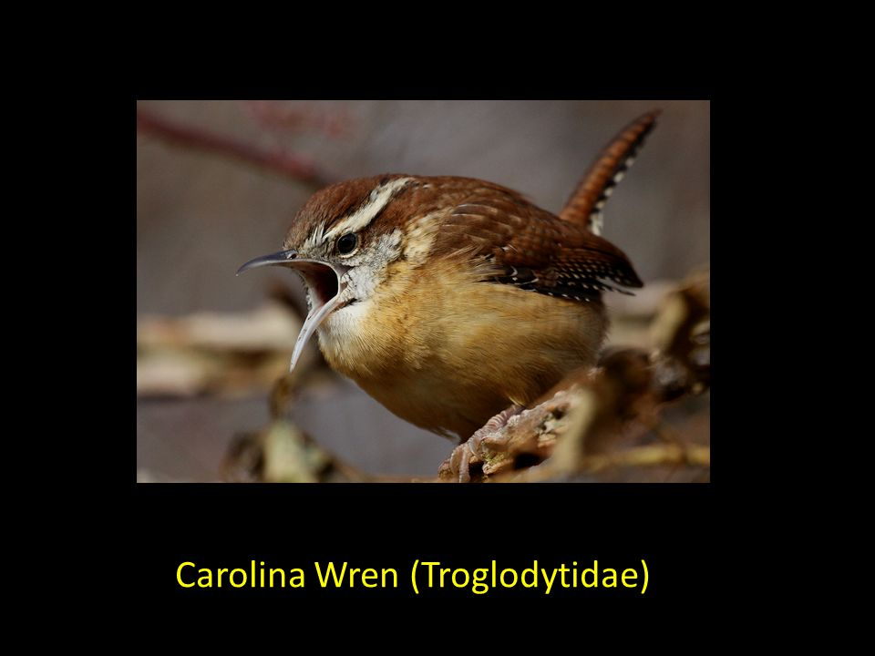 Carolina Wren (Troglodytidae)