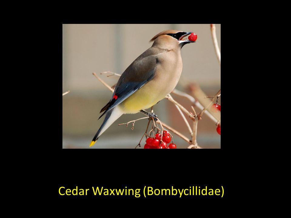 Cedar Waxwing (Bombycillidae)