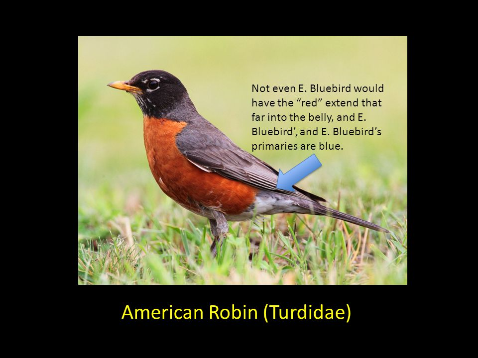 American Robin (Turdidae) Not even E.