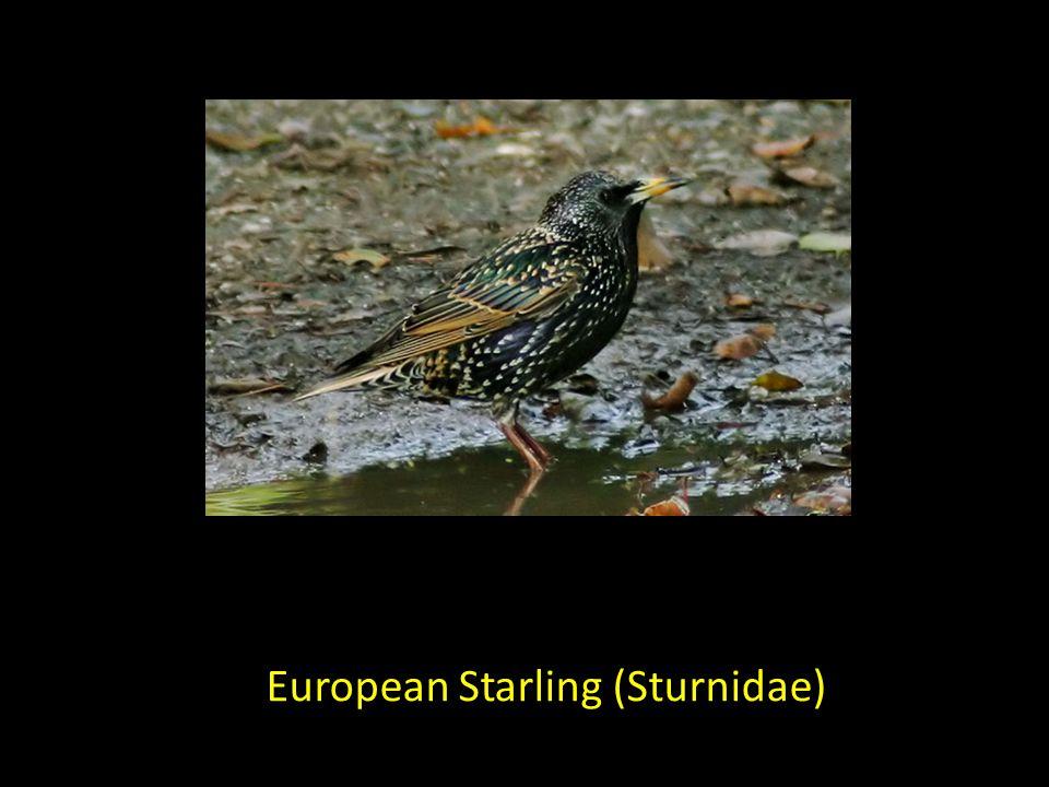 European Starling (Sturnidae)
