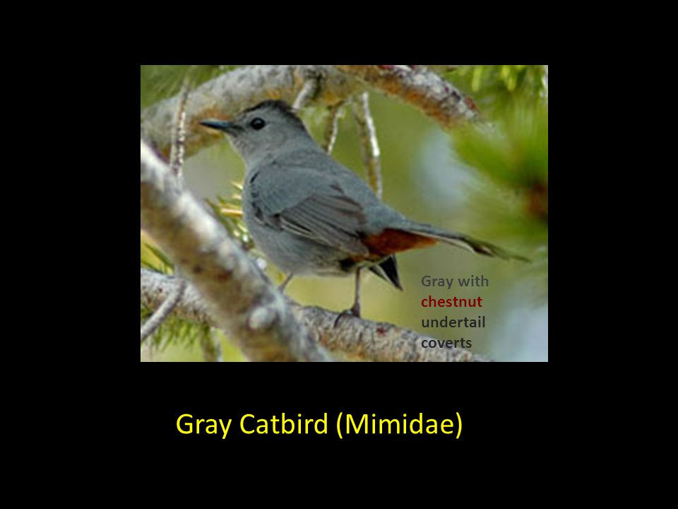 Gray Catbird (Mimidae) Gray with chestnut undertail coverts