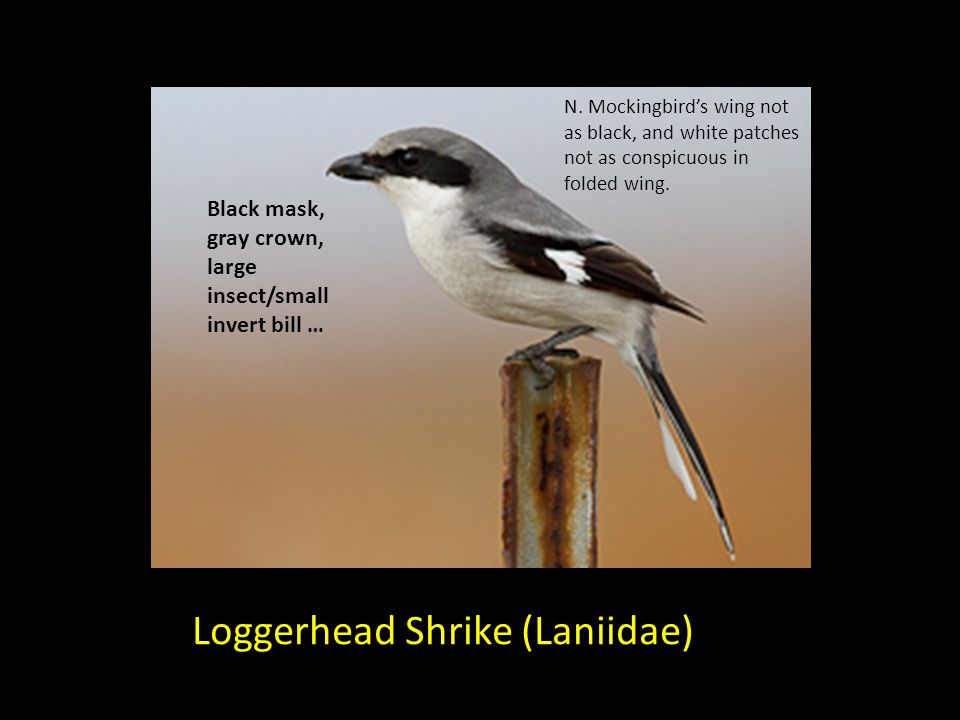 Loggerhead Shrike (Laniidae) Black mask, gray crown, large insect/small invert bill … N. Mockingbirds wing not as black, and white patches not as cons