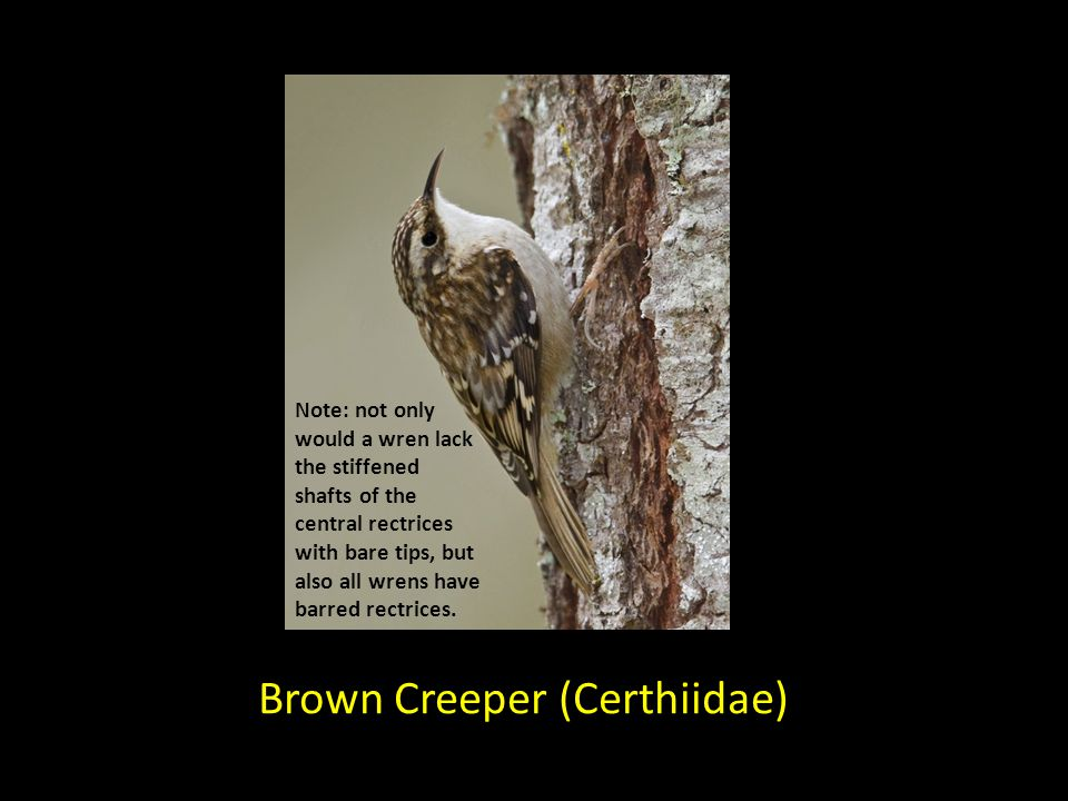 Brown Creeper (Certhiidae) Note: not only would a wren lack the stiffened shafts of the central rectrices with bare tips, but also all wrens have barr