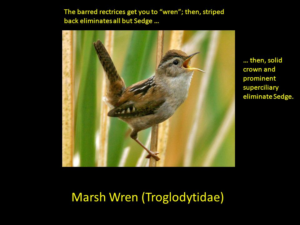 Marsh Wren (Troglodytidae) The barred rectrices get you to wren; then, striped back eliminates all but Sedge … … then, solid crown and prominent super
