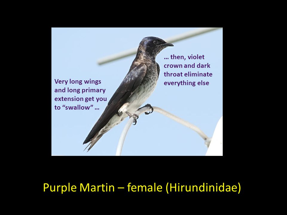 Purple Martin – female (Hirundinidae) Very long wings and long primary extension get you to swallow … … then, violet crown and dark throat eliminate everything else