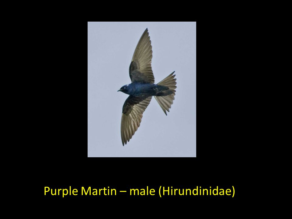 Purple Martin – male (Hirundinidae)