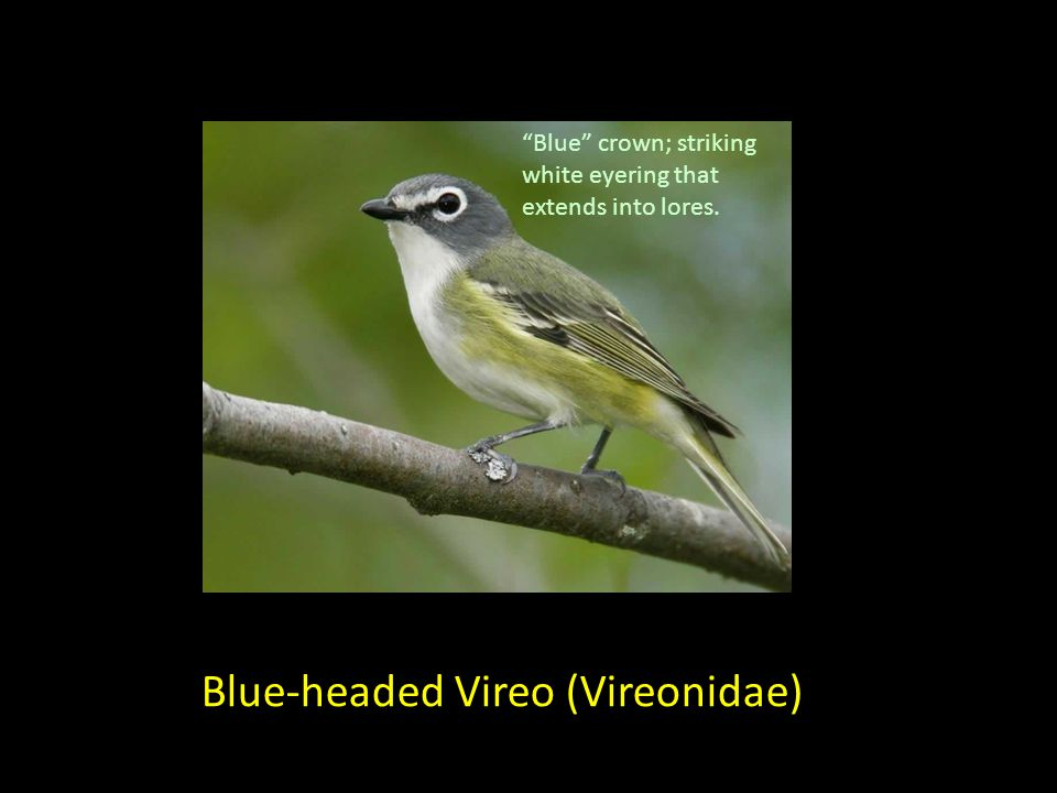 Blue-headed Vireo (Vireonidae) Blue crown; striking white eyering that extends into lores.