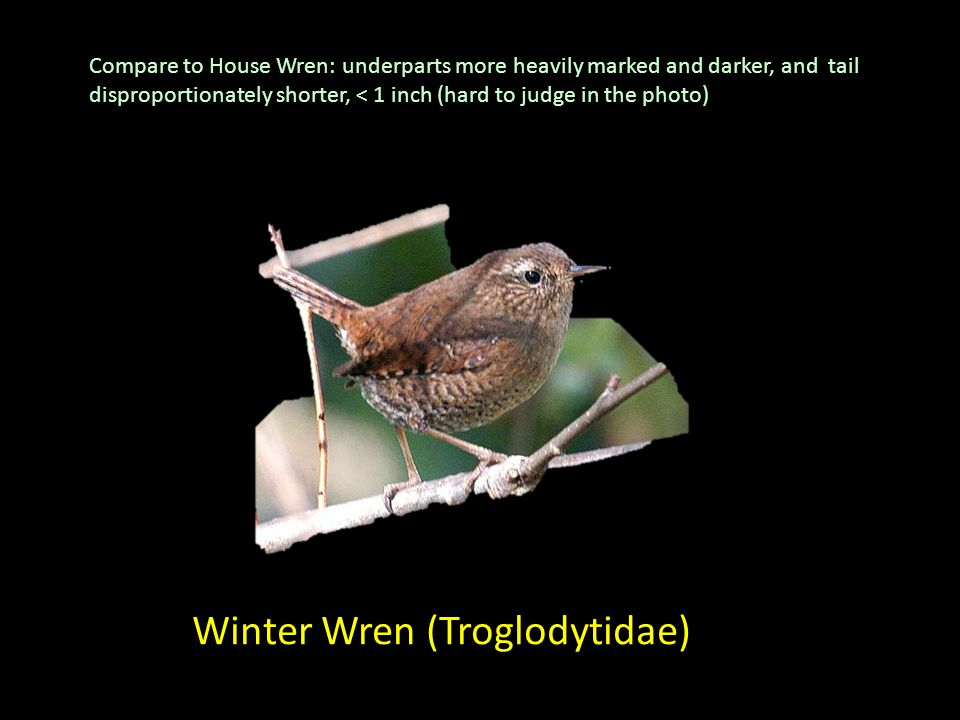 Winter Wren (Troglodytidae) Compare to House Wren: underparts more heavily marked and darker, and tail disproportionately shorter, < 1 inch (hard to j