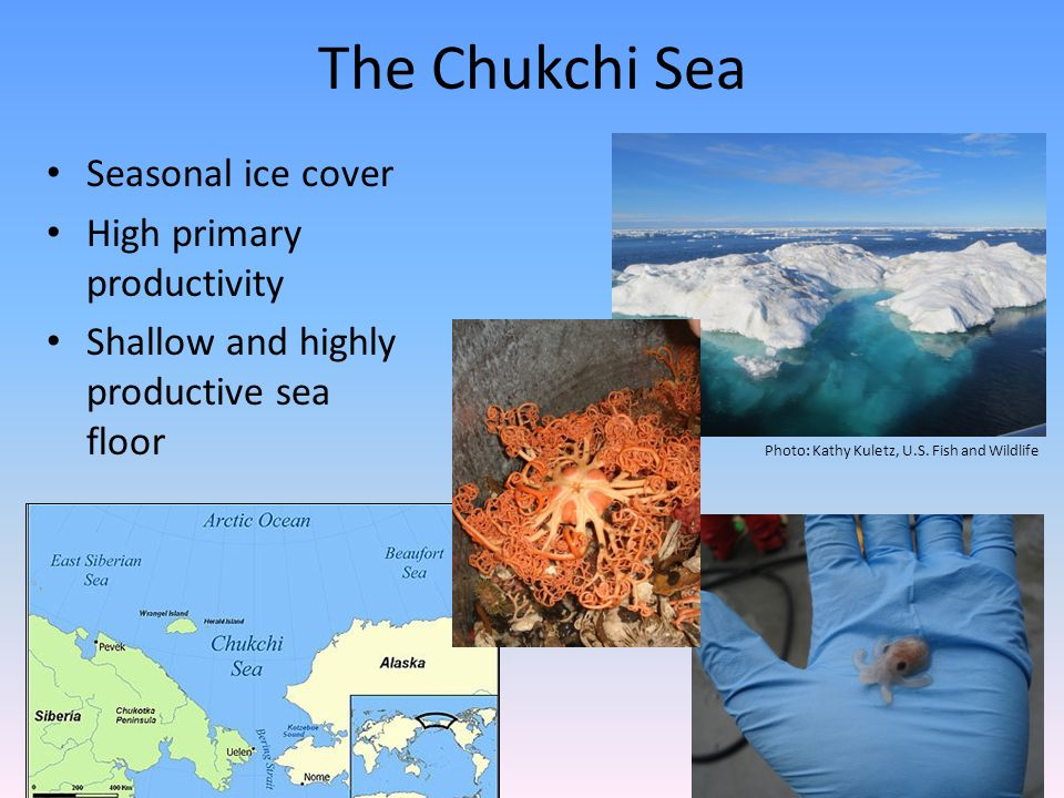 The Chukchi Sea Seasonal ice cover High primary productivity Shallow and highly productive sea floor Photo: Kathy Kuletz, U.S. Fish and Wildlife
