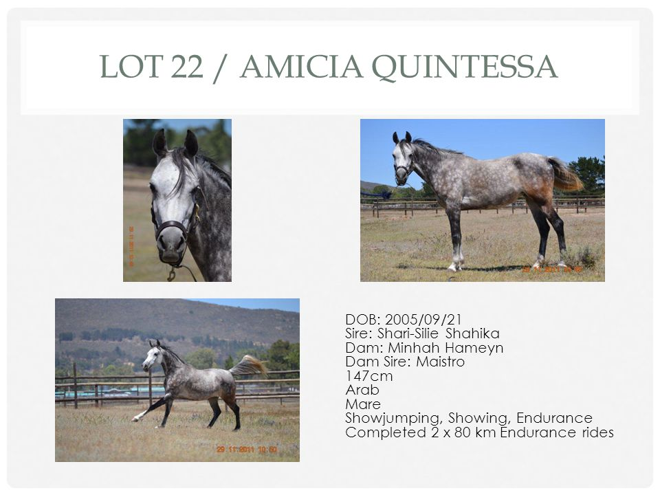 LOT 21 / WHISTLEHOT DOB: 2006/10/20 Sire: Whistling Wood Dam: Lose Your Heart Dam Sire: Dominion Royale 161cm TB Gelding Show Jumping, Showing Sweet, willing horse with great scope