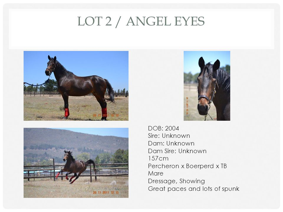 LOT 1 / FARHILLS HERO DOB: 2008/10/21 Sire: Serenity Samson Dam: Hera Dam Sire: Unknown 162cm Friesian/Percheron x TB Gelding Backed Been lunged, had saddle and rider on