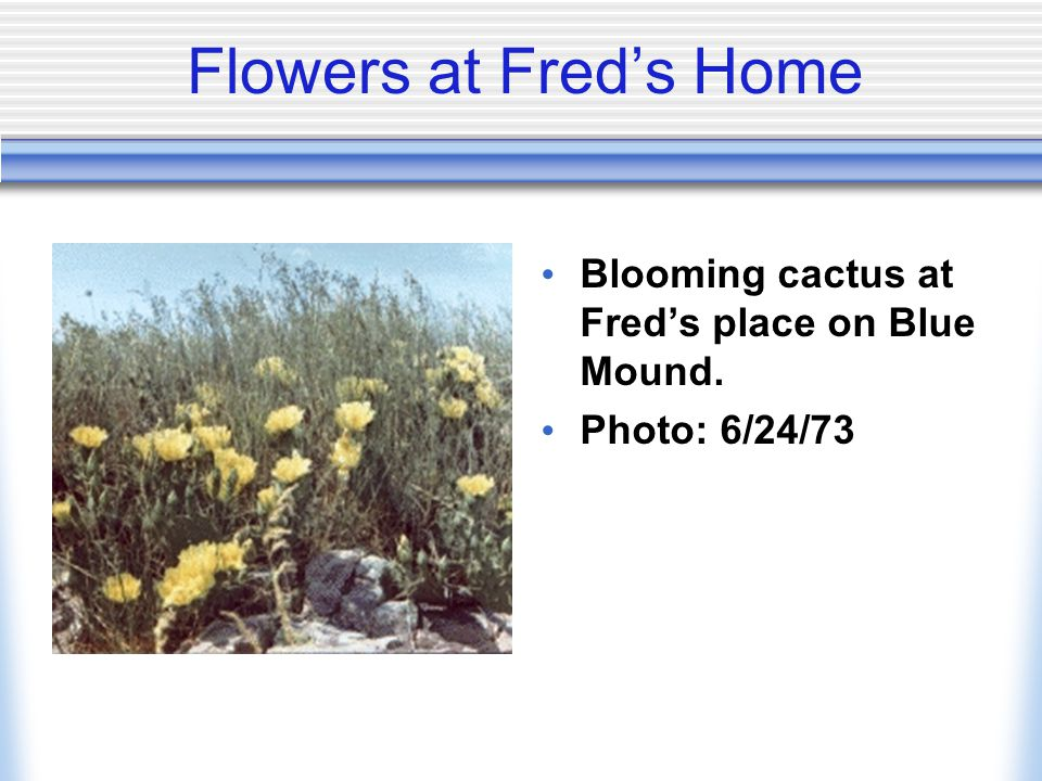 Flowers at Freds Home Blooming cactus at Freds place on Blue Mound. Photo: 6/24/73