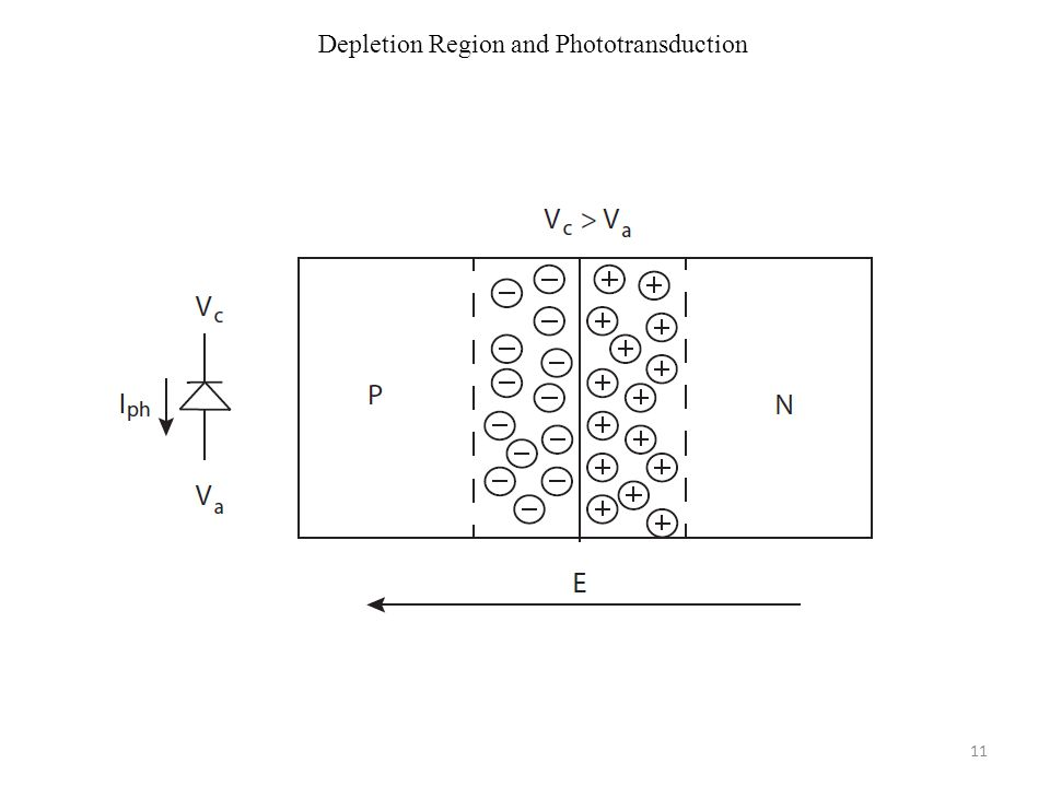 Depletion Region and Phototransduction 11