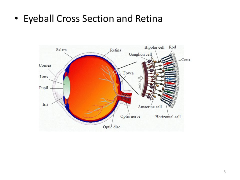 Eyeball Cross Section and Retina 3
