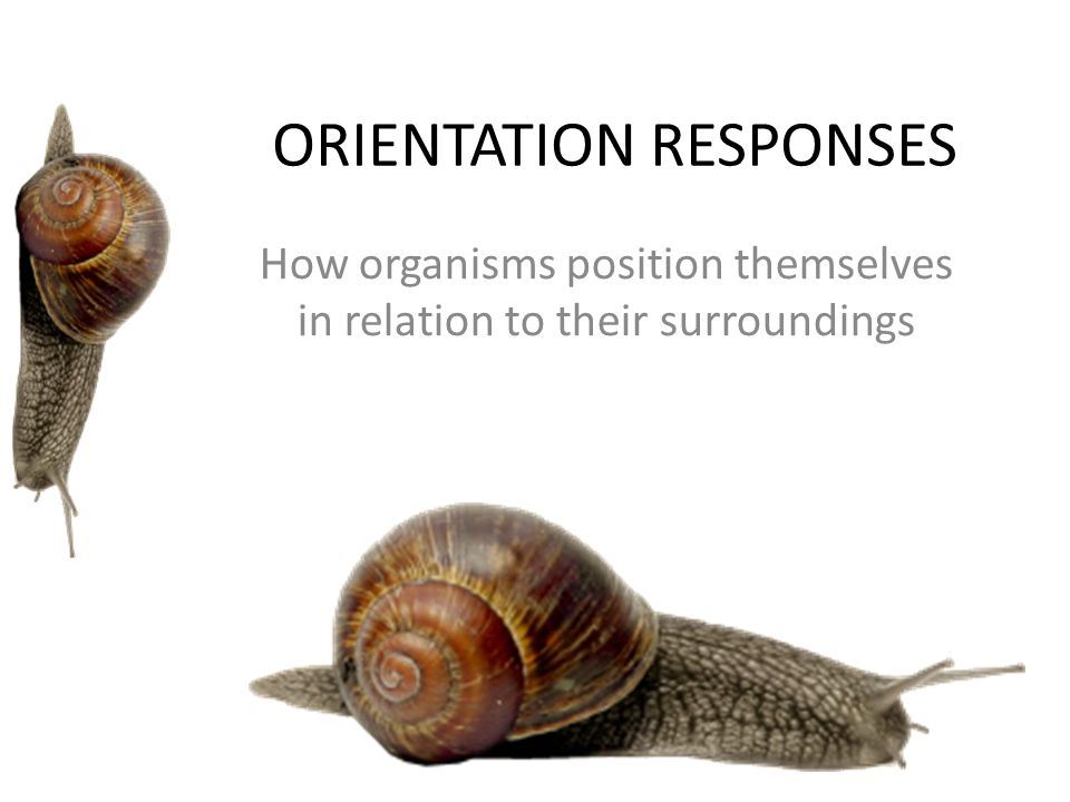 ORIENTATION RESPONSES How organisms position themselves in relation to their surroundings