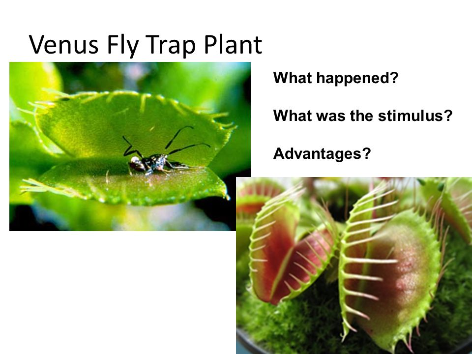 Venus Fly Trap Plant What happened? What was the stimulus? Advantages?