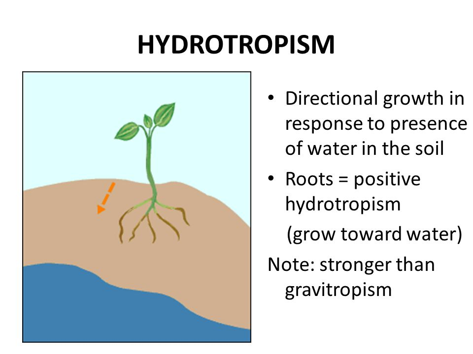 HYDROTROPISM Directional growth in response to presence of water in the soil Roots = positive hydrotropism (grow toward water) Note: stronger than gra