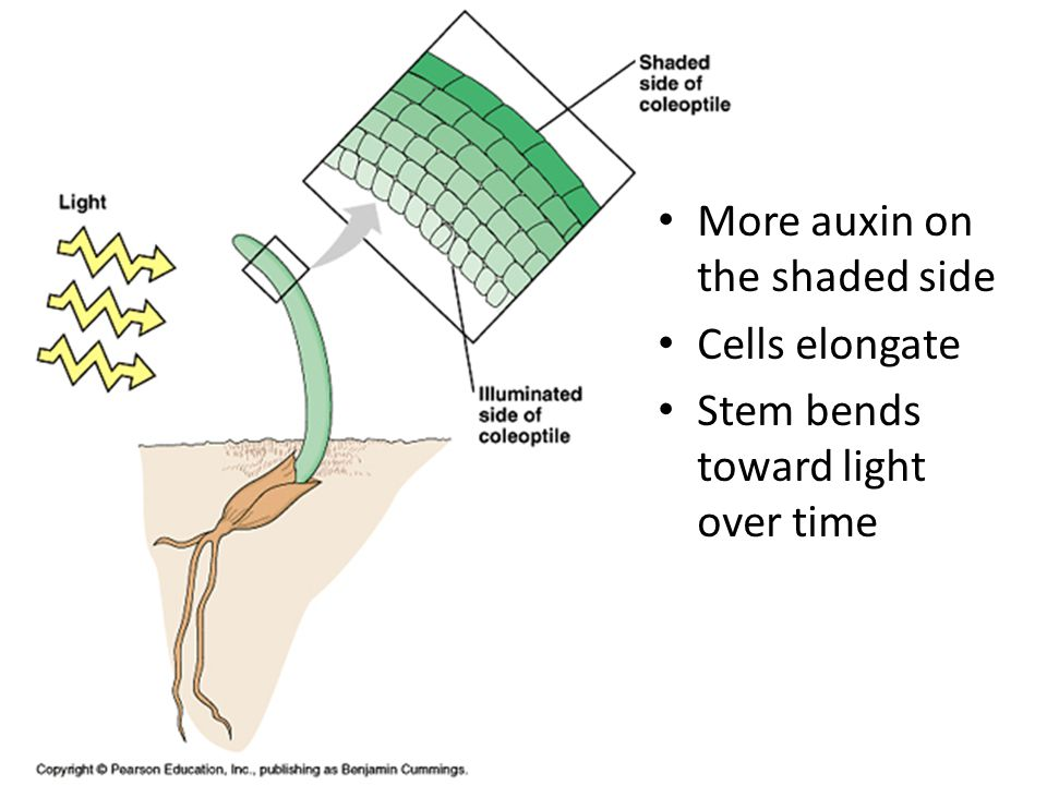 More auxin on the shaded side Cells elongate Stem bends toward light over time