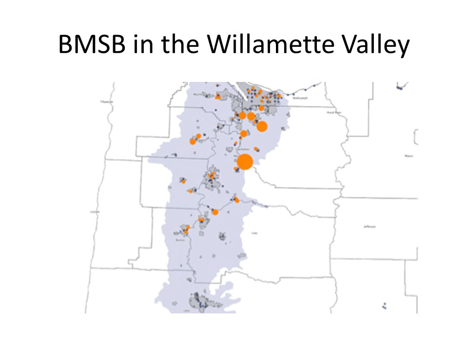 BMSB in the Willamette Valley