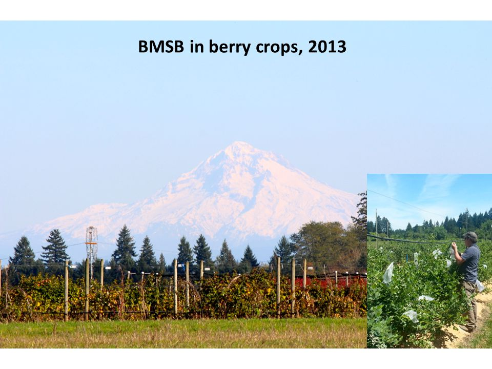 BMSB in berry crops, 2013