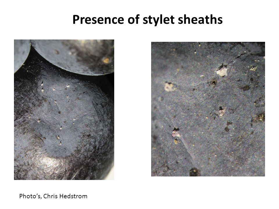 Presence of stylet sheaths Photos, Chris Hedstrom