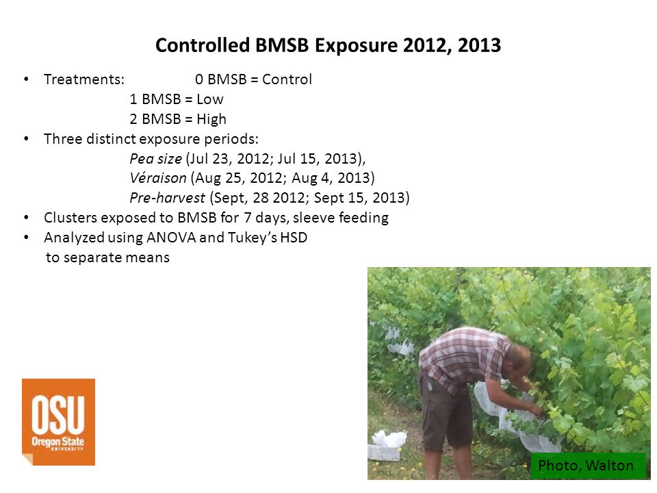 Controlled BMSB Exposure 2012, 2013 Treatments: 0 BMSB = Control 1 BMSB = Low 2 BMSB = High Three distinct exposure periods: Pea size (Jul 23, 2012; Jul 15, 2013), Véraison (Aug 25, 2012; Aug 4, 2013) Pre-harvest (Sept, 28 2012; Sept 15, 2013) Clusters exposed to BMSB for 7 days, sleeve feeding Analyzed using ANOVA and Tukeys HSD to separate means Photo, Walton