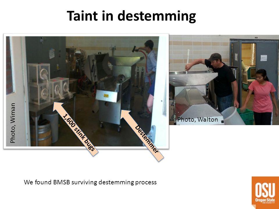 Taint in destemming We found BMSB surviving destemming process 1,600 stink bugs Destemmer Photo, Walton Photo, Wiman