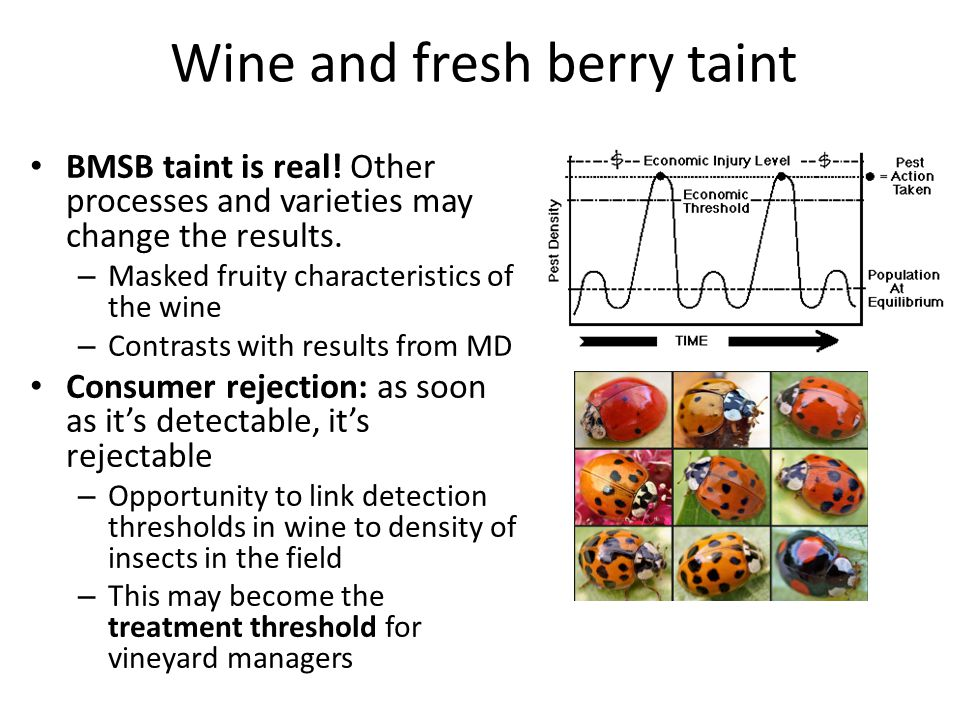 Wine and fresh berry taint BMSB taint is real! Other processes and varieties may change the results. – Masked fruity characteristics of the wine – Con