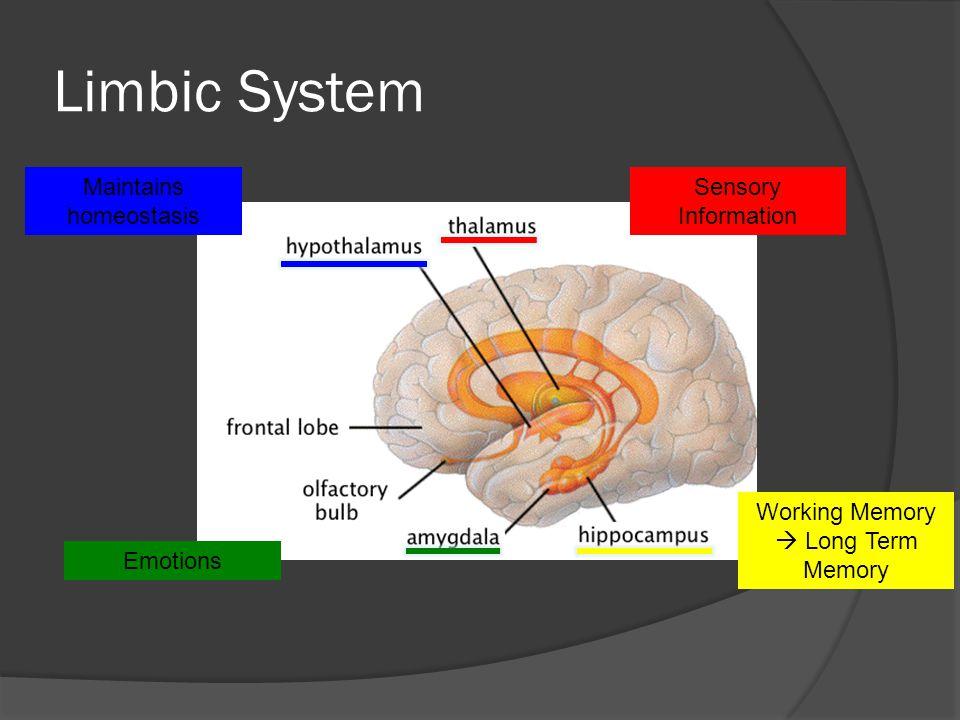 Limbic System Sensory Information Maintains homeostasis Emotions Working Memory Long Term Memory