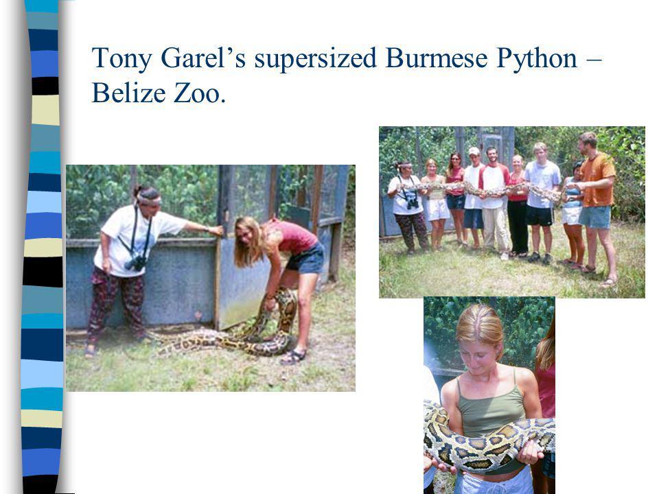 Tony Garels supersized Burmese Python – Belize Zoo.