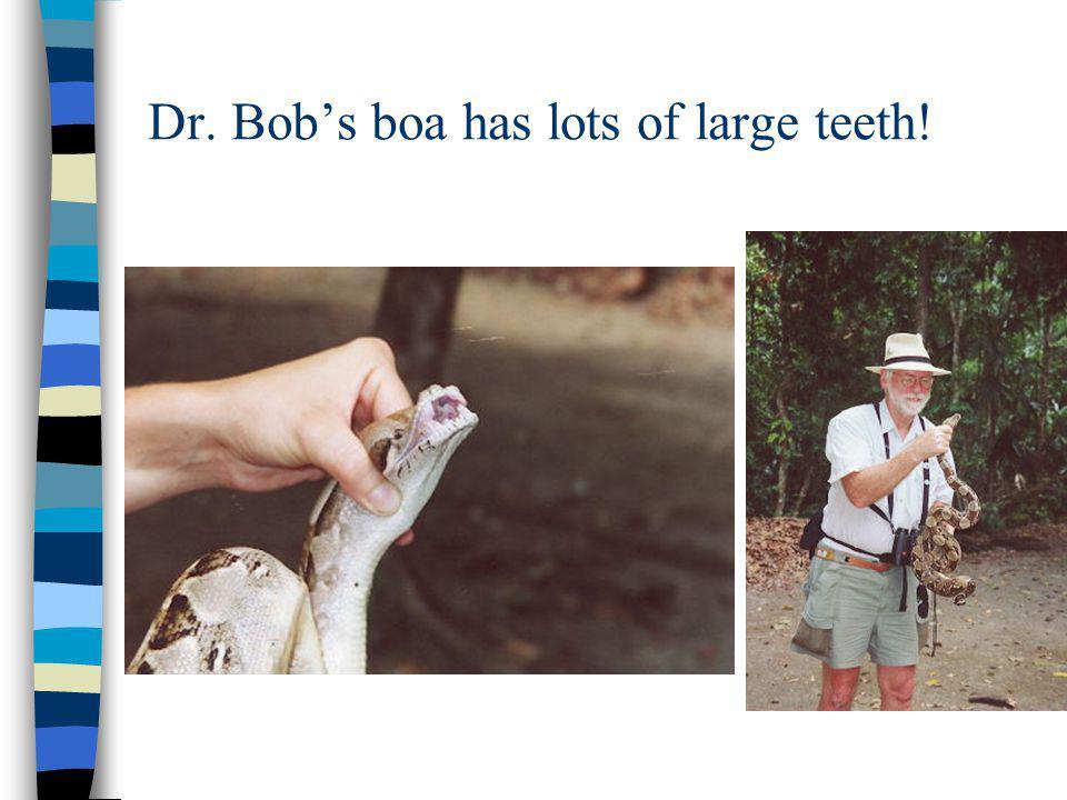 Dr. Bobs boa has lots of large teeth!