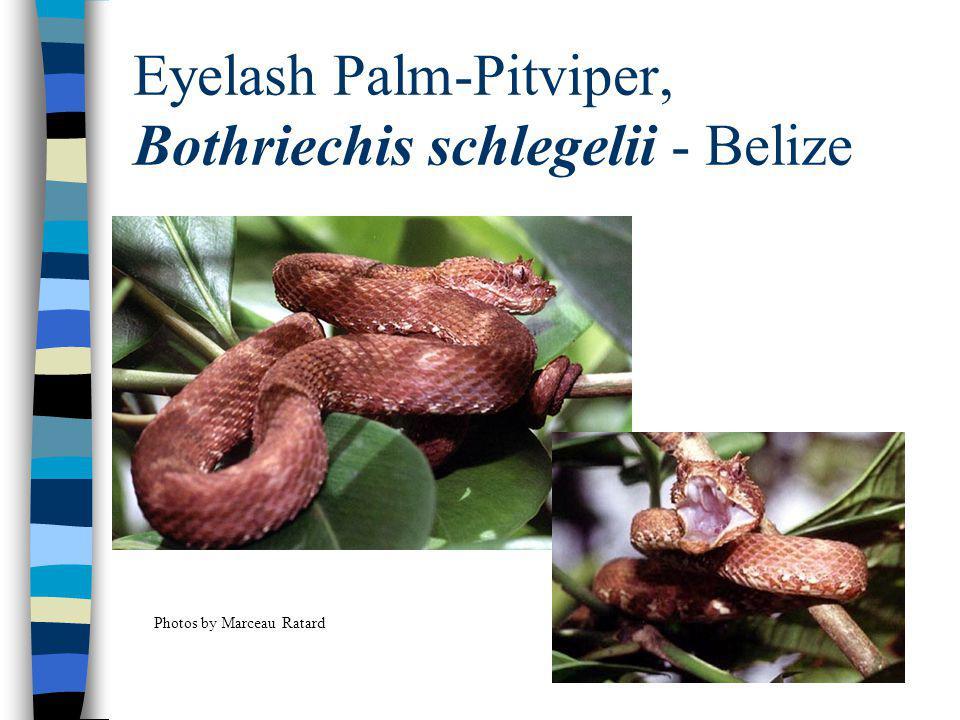 Eyelash Palm-Pitviper, Bothriechis schlegelii - Belize Photos by Marceau Ratard