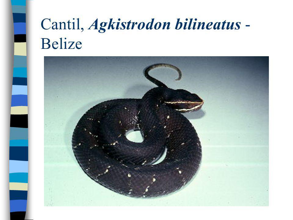Cantil, Agkistrodon bilineatus - Belize