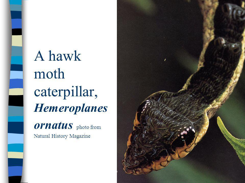 A hawk moth caterpillar, Hemeroplanes ornatus photo from Natural History Magazine