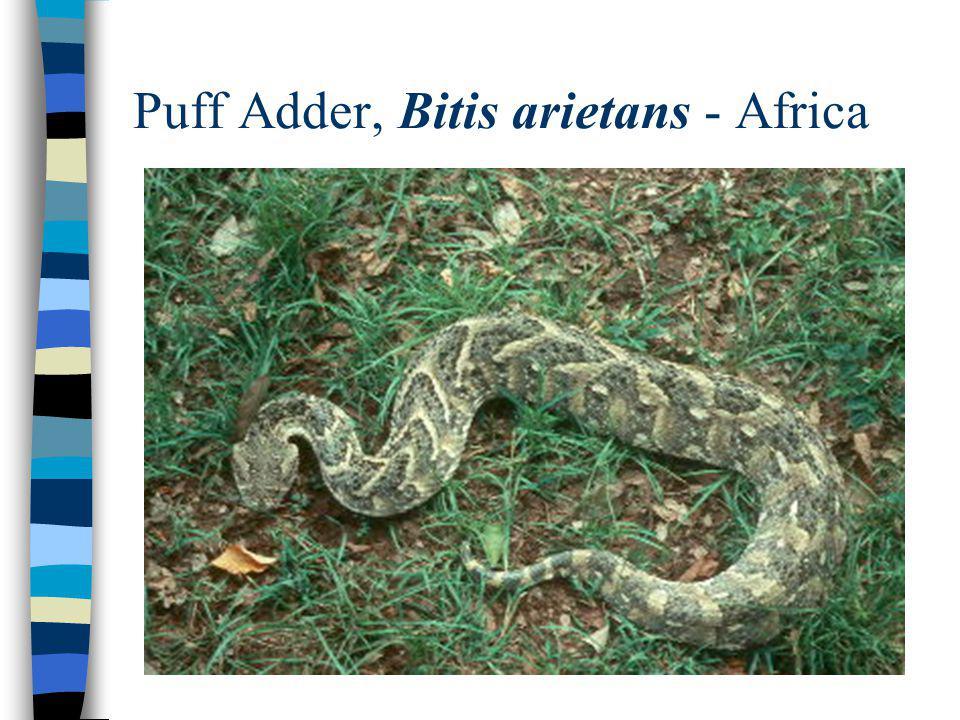 Puff Adder, Bitis arietans - Africa