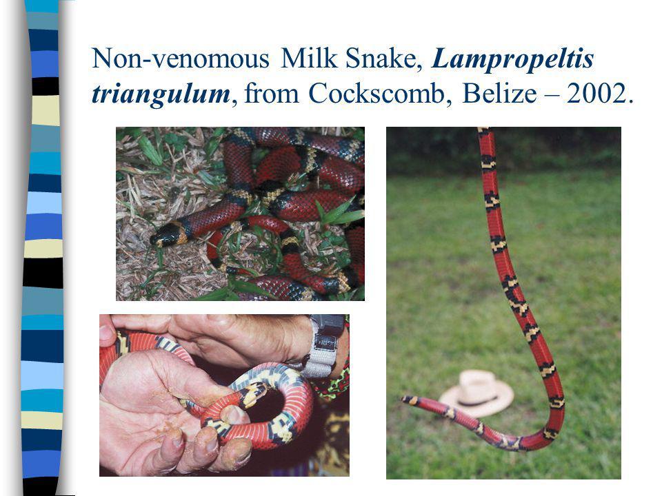 Non-venomous Milk Snake, Lampropeltis triangulum, from Cockscomb, Belize – 2002.