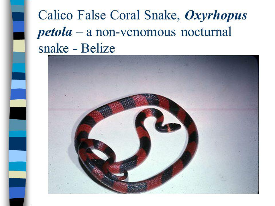 Calico False Coral Snake, Oxyrhopus petola – a non-venomous nocturnal snake - Belize