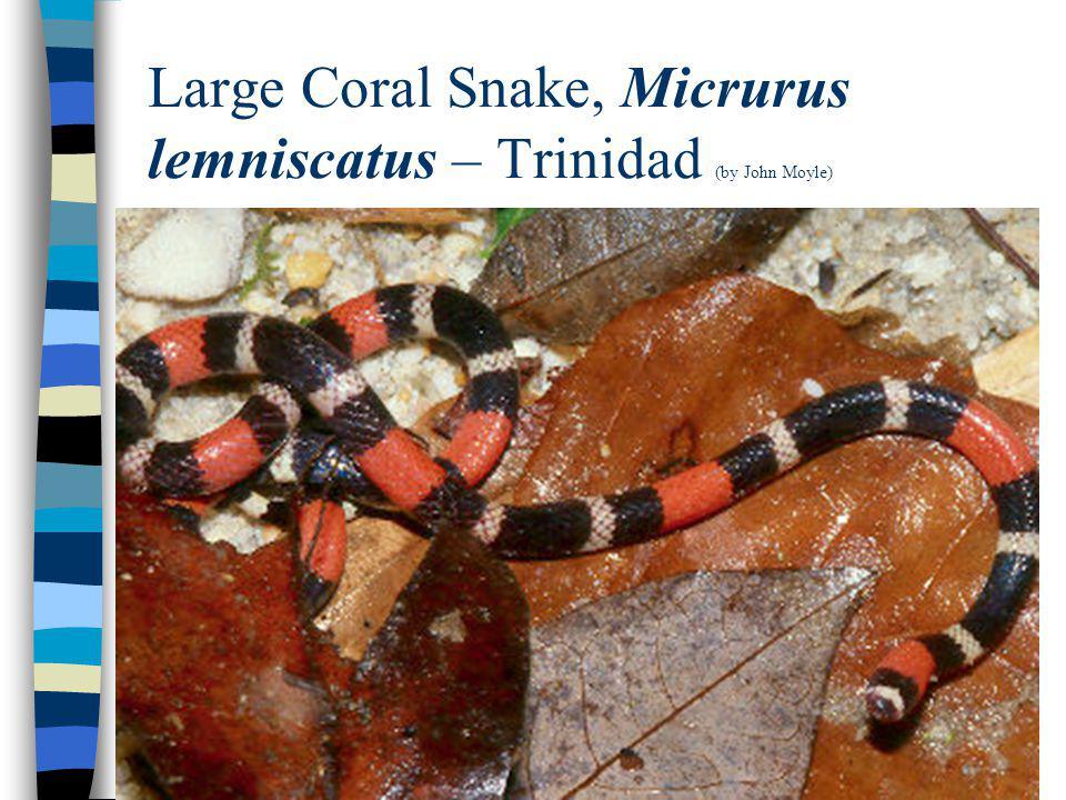 Large Coral Snake, Micrurus lemniscatus – Trinidad (by John Moyle)