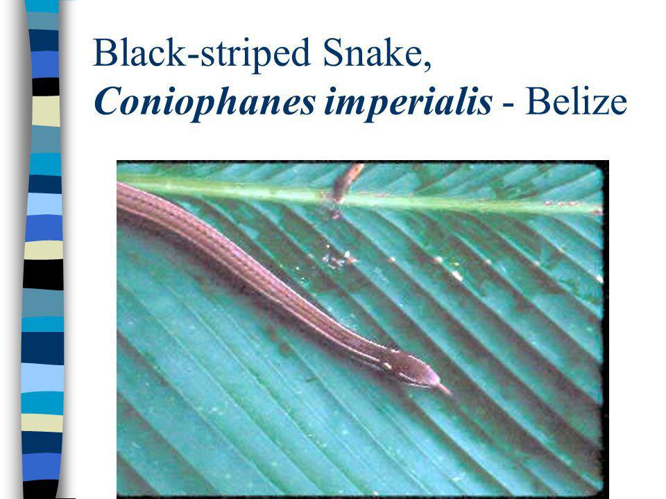 Black-striped Snake, Coniophanes imperialis - Belize