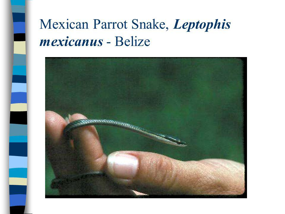 Mexican Parrot Snake, Leptophis mexicanus - Belize
