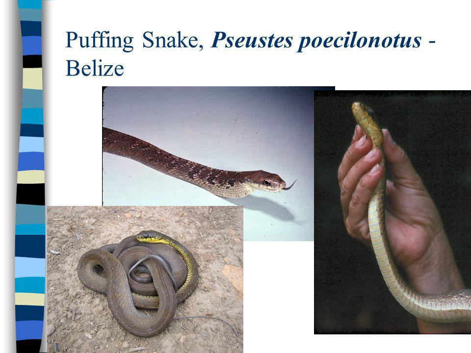 Puffing Snake, Pseustes poecilonotus - Belize
