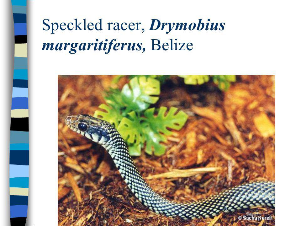 Speckled racer, Drymobius margaritiferus, Belize