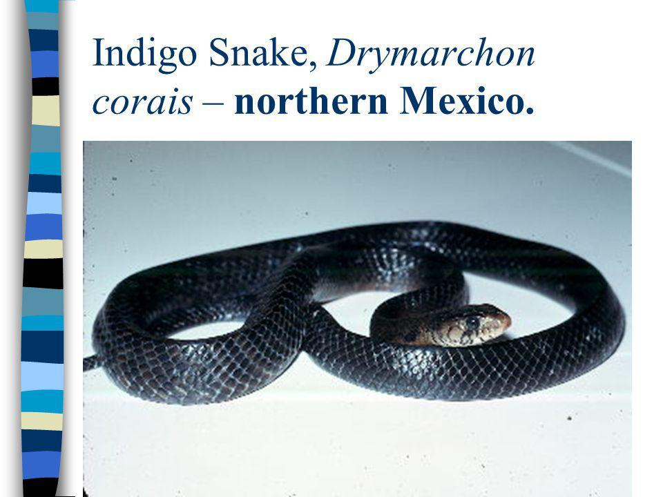 Indigo Snake, Drymarchon corais – northern Mexico.