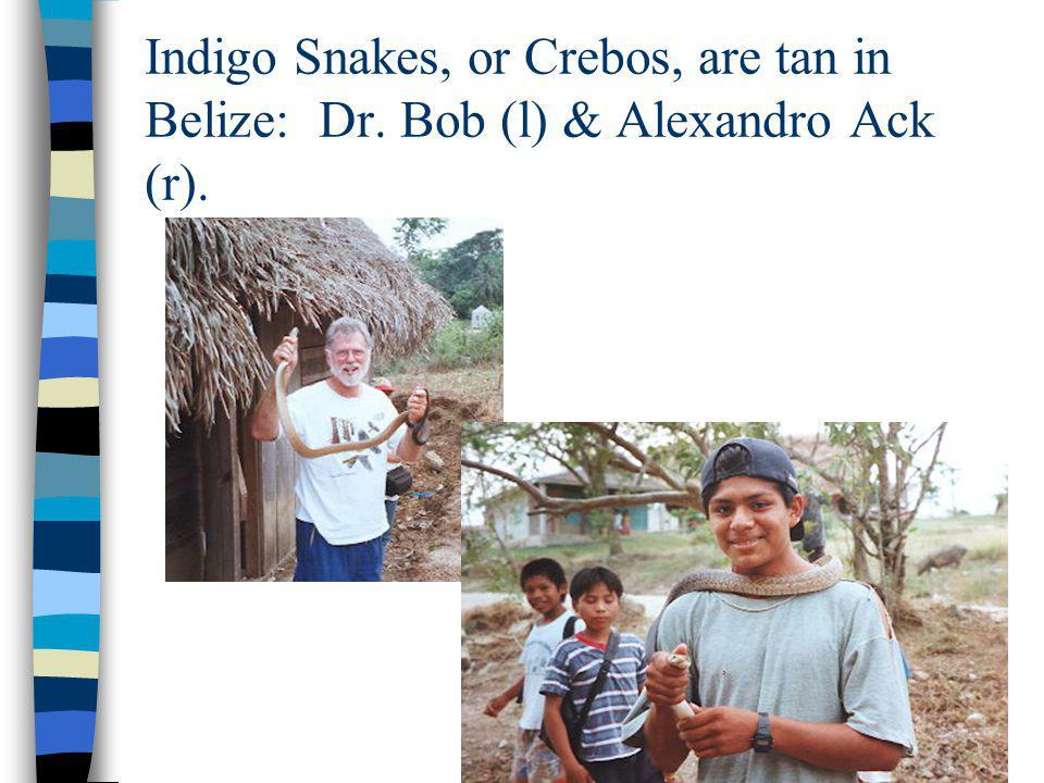 Indigo Snakes, or Crebos, are tan in Belize: Dr. Bob (l) & Alexandro Ack (r).