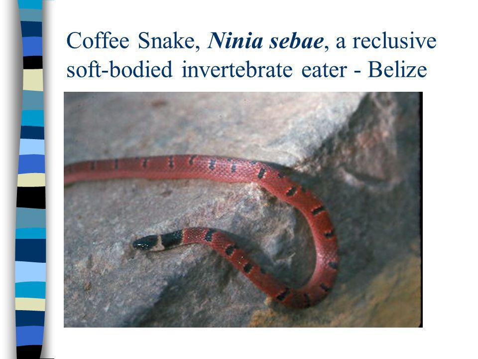Coffee Snake, Ninia sebae, a reclusive soft-bodied invertebrate eater - Belize