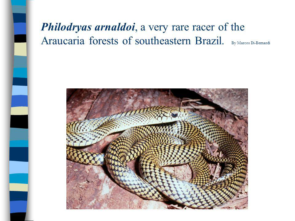 Philodryas arnaldoi, a very rare racer of the Araucaria forests of southeastern Brazil. By Marcos Di-Bernardi