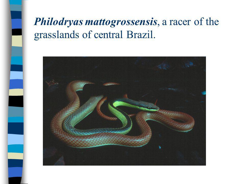 Philodryas mattogrossensis, a racer of the grasslands of central Brazil.
