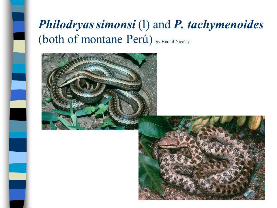Philodryas simonsi (l) and P. tachymenoides (both of montane Perú) by Harald Nicolay
